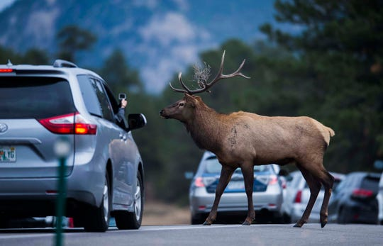A bull elk with brush in his antlers, crosses Park Entrance Road while being filmed from a vehicle on Monday, Sept. 24, 2018, at Rocky Mountain National Park in Colo.