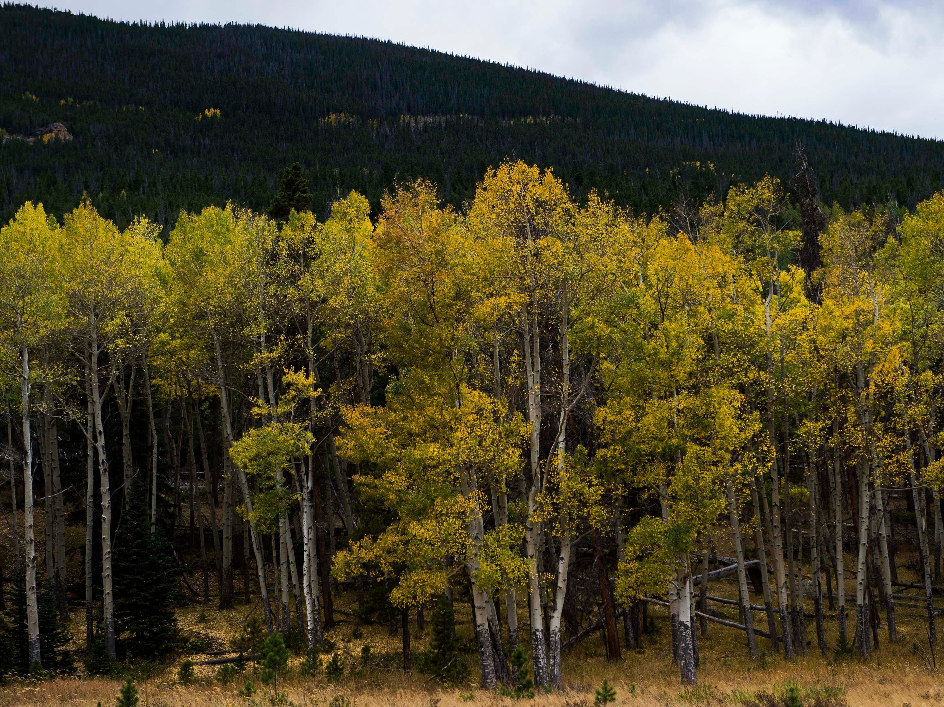 The colors of an aspen grove off Fall River Road peak on Monday, Sept. 24, 2018, at Rocky Mountain National Park in Colo.