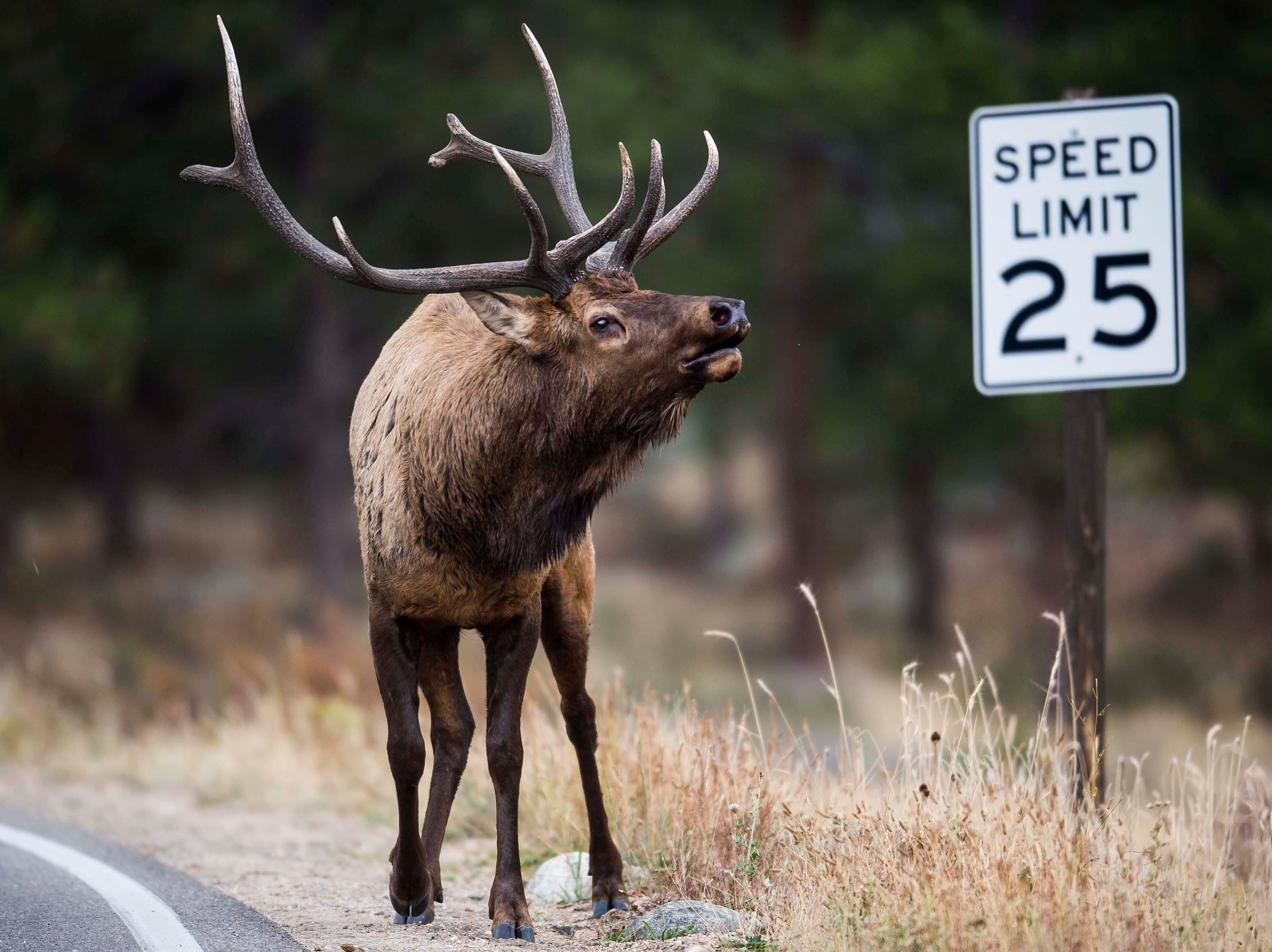 A bull elk bugles while standing next to Park Entrance Road on Monday, Sept. 24, 2018, at Rocky Mountain National Park in Colo.