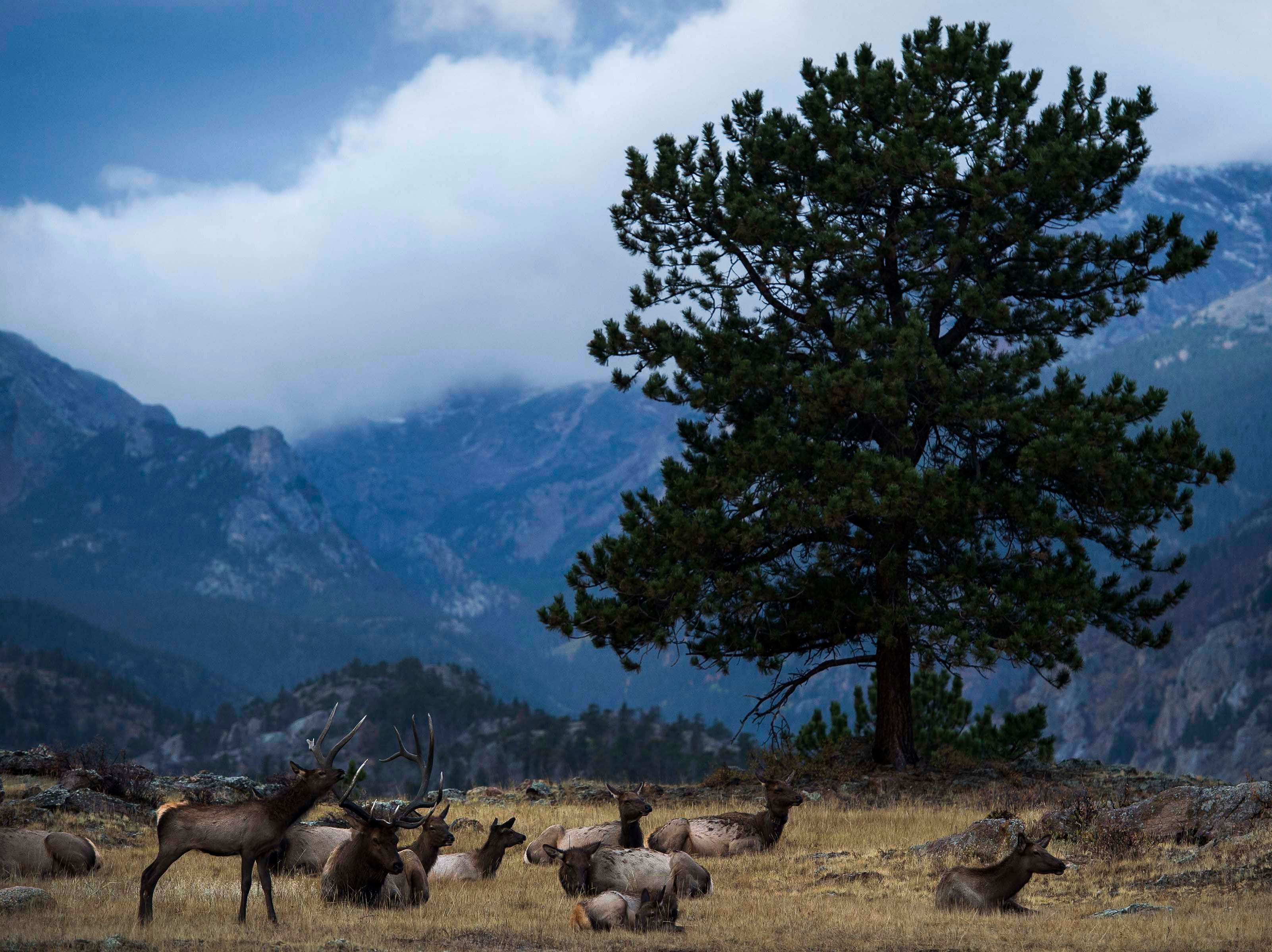A bull elk lays with his harem as morning storm clouds roll over Moraine park on Monday, Sept. 24, 2018, at Rocky Mountain National Park in Colo.
