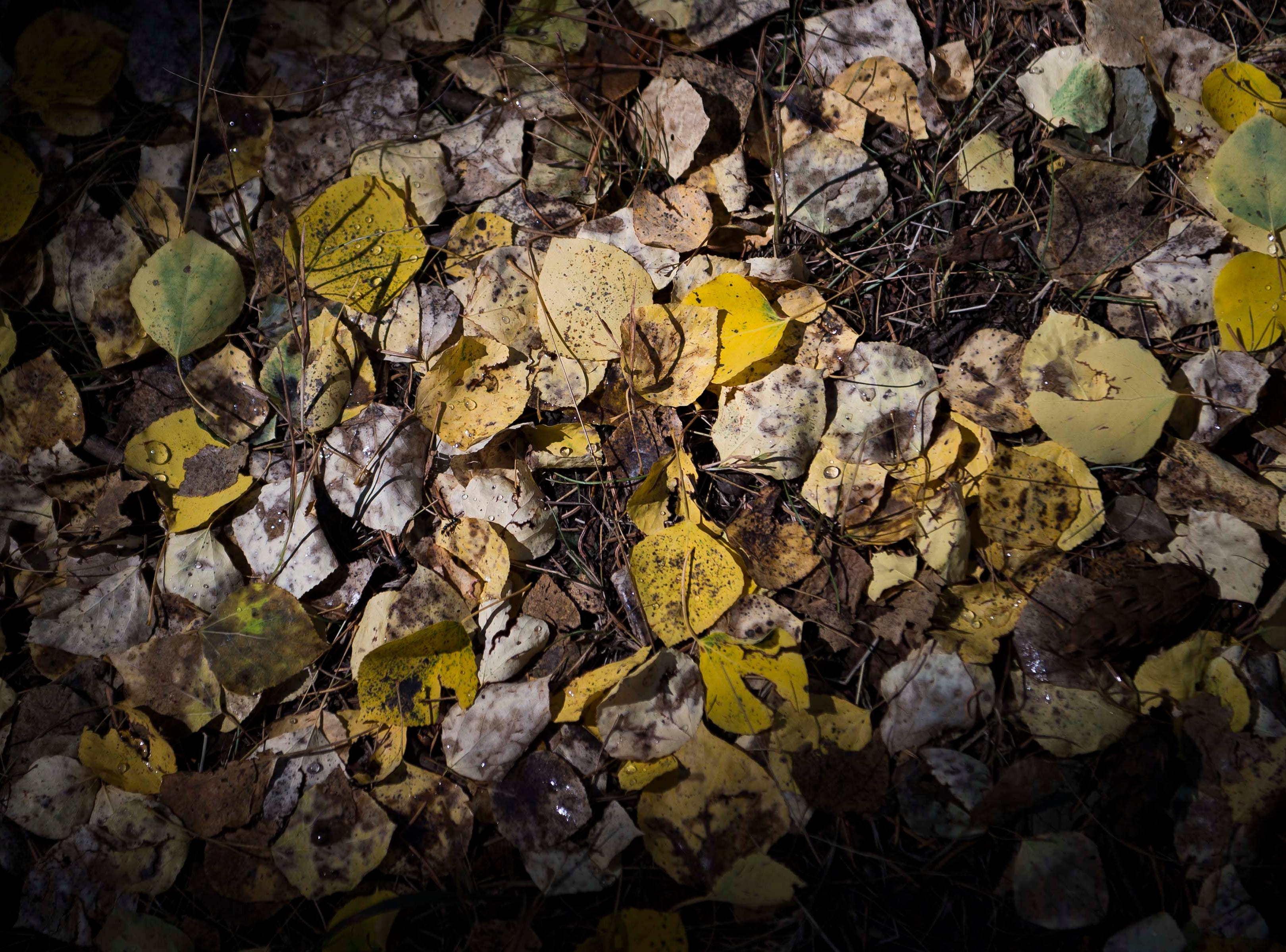 Fallen aspen leaves show a varied array of colors off the Cub Lake trail on Monday, Sept. 24, 2018, at Rocky Mountain National Park in Colo.