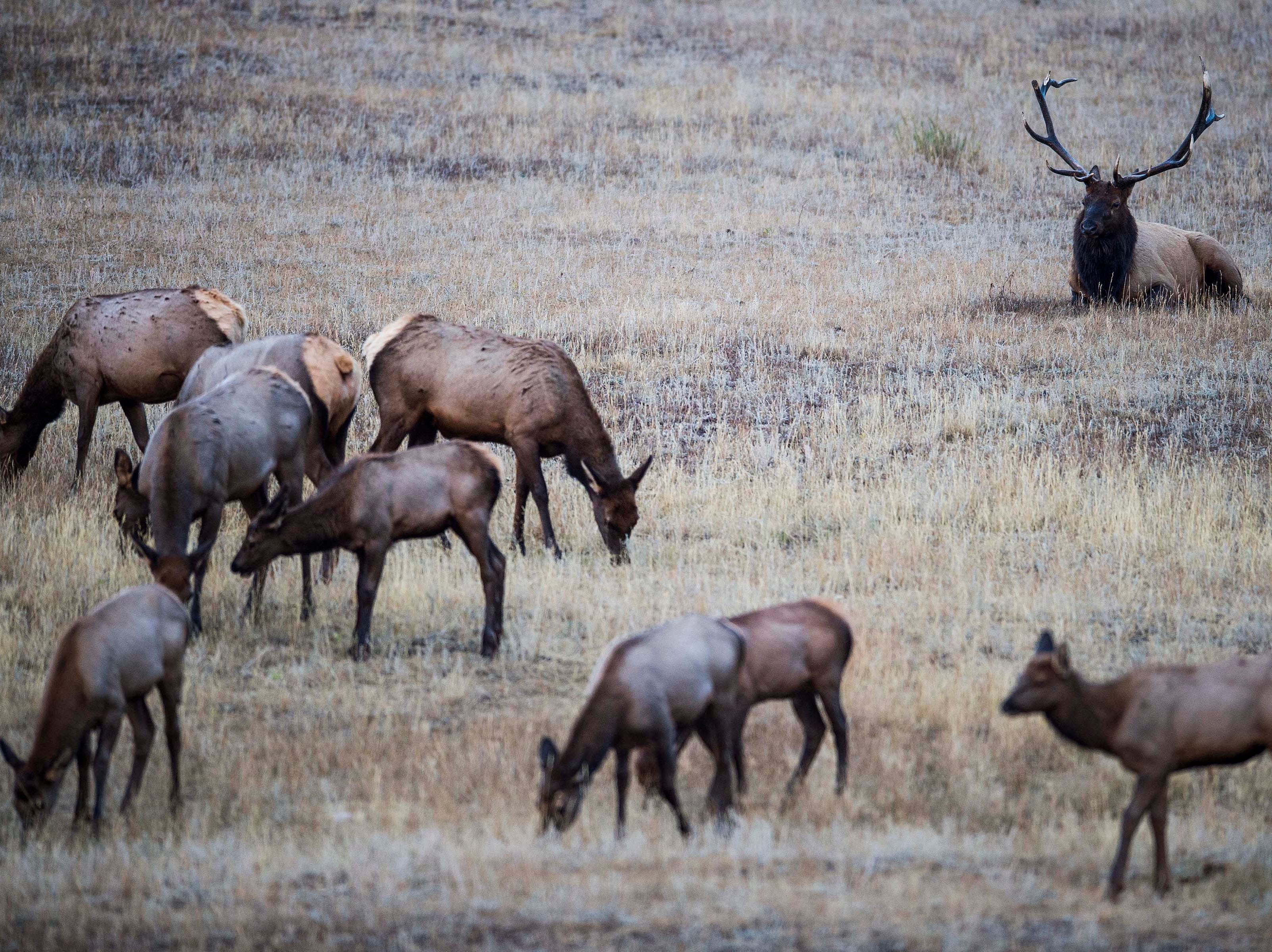 A bull elk looks over his harem in Moraine Park on Monday, Sept. 24, 2018, at Rocky Mountain National Park in Colo.