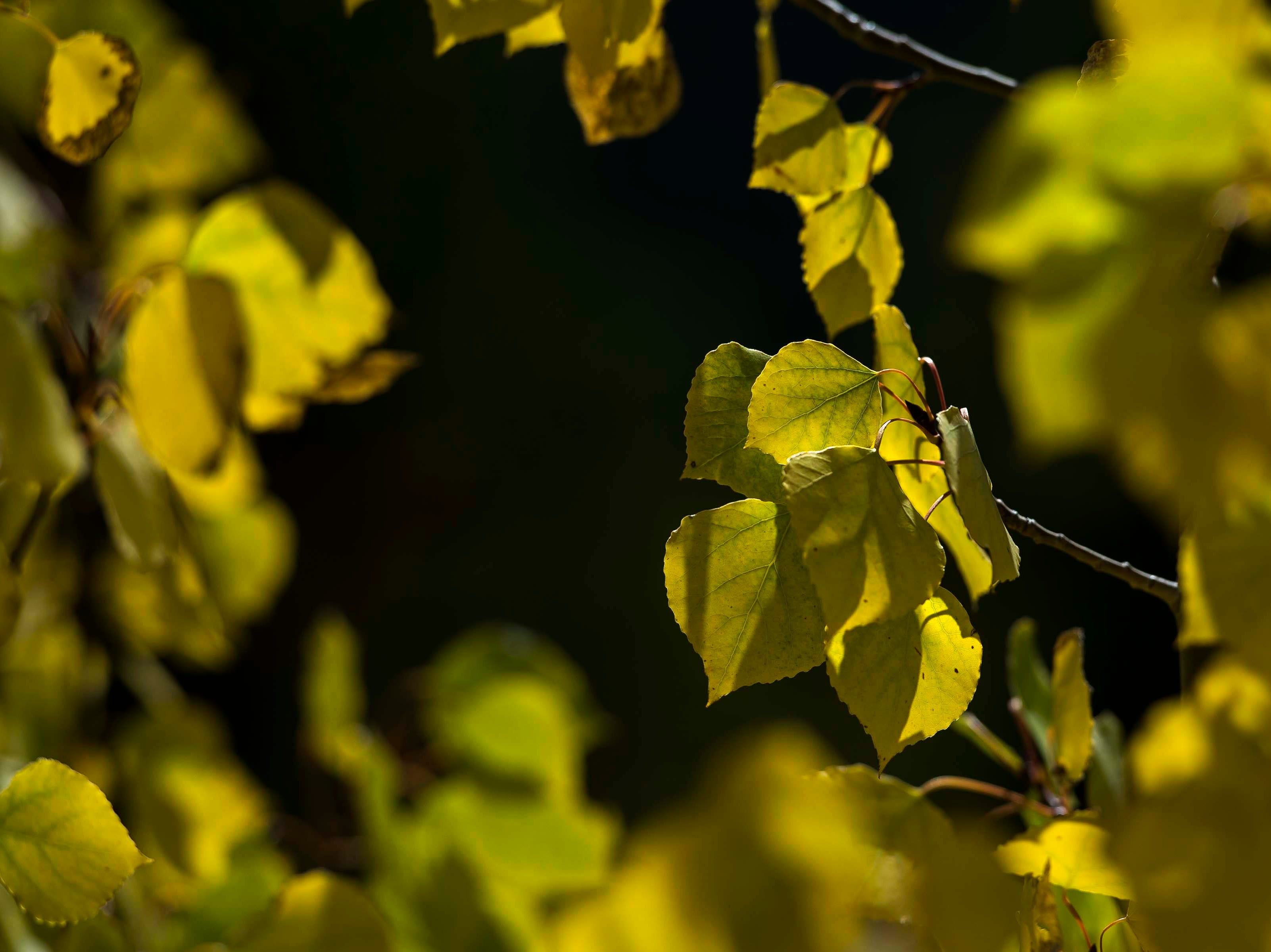 Aspen leaves shine a bright yellow off Park Entrance Road on Monday, Sept. 24, 2018, at Rocky Mountain National Park in Colo.