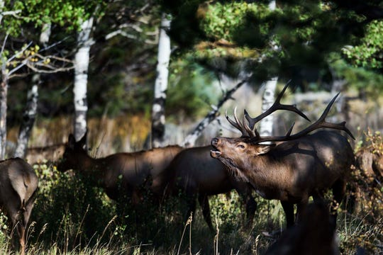 A bull elk bugles near an aspen grove off Bear Lake Road on Monday, Sept. 24, 2018, at Rocky Mountain National Park in Colo.