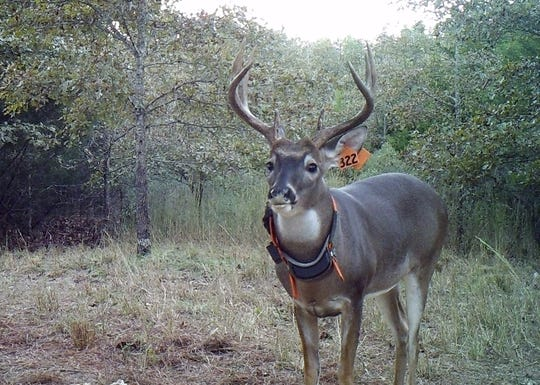 A mature buck like this one in a deer movement study had an unusual journey that took six months and went through two counties.