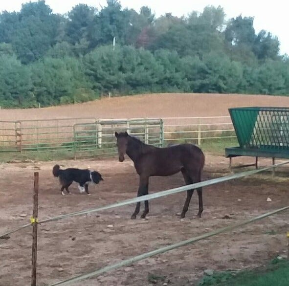 Lovina and Joe's horse, Ginger, has a 5-month-old filly, Sugar, pictured here beside Buddy the border collie.