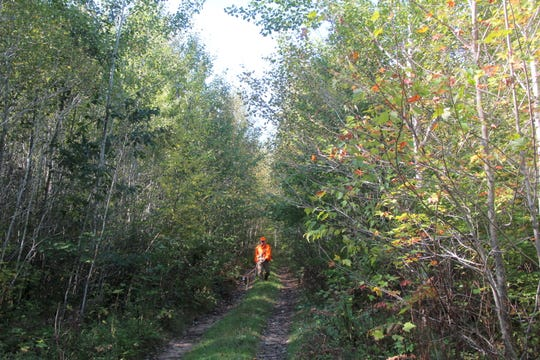 Gary Zimmer of Rhinelander leads his dog Scout out of the woods after a hunt for ruffed grouse and woodcock near Rhinelander.