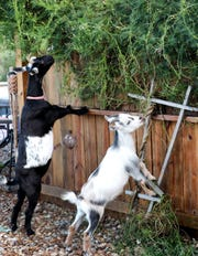 Goats Layla, left, and Felix snack on flowering vines at their home Sugarbush Farms.