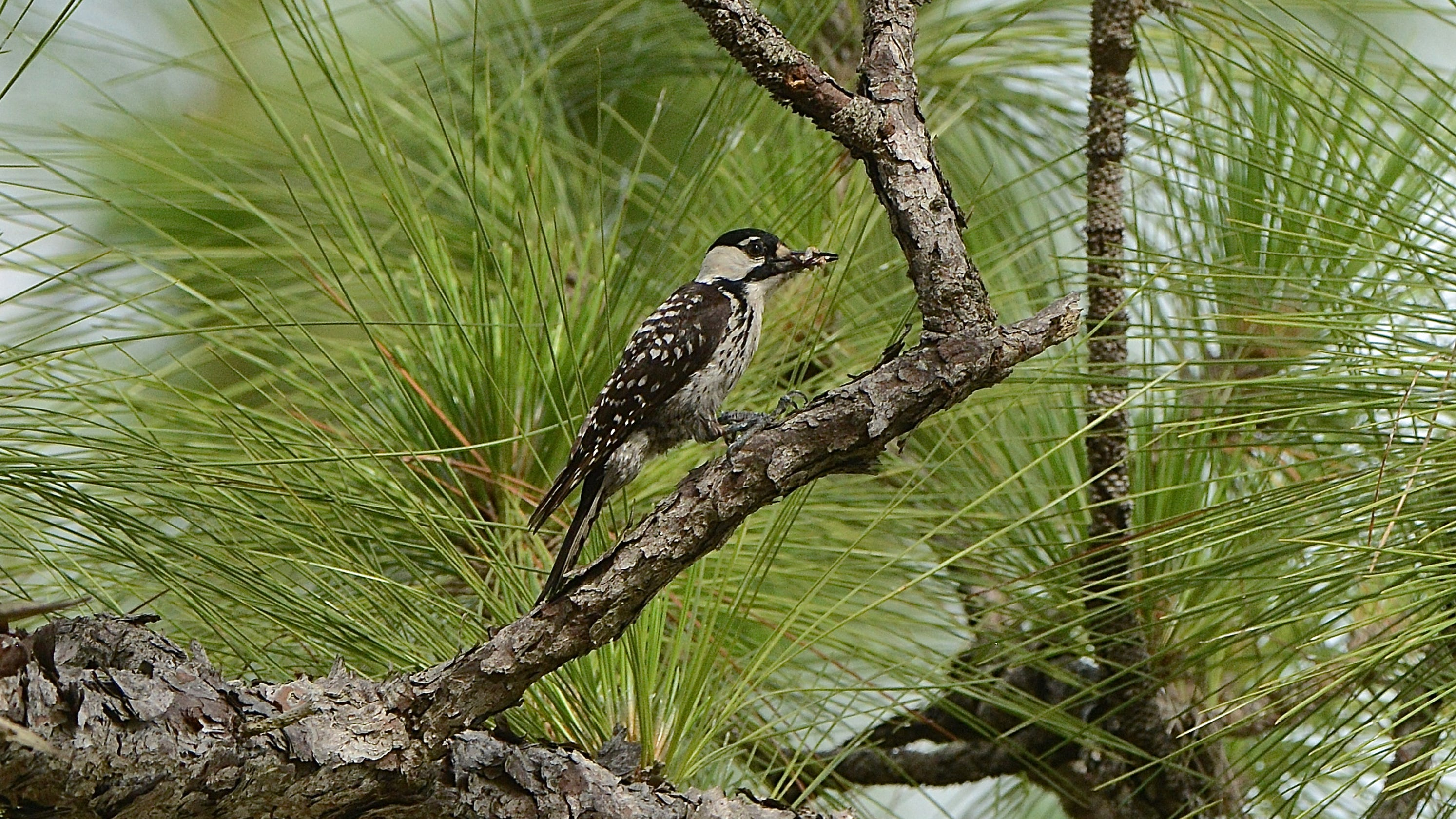 Endangered? Threatened? Feds check status of woodpeckers ...