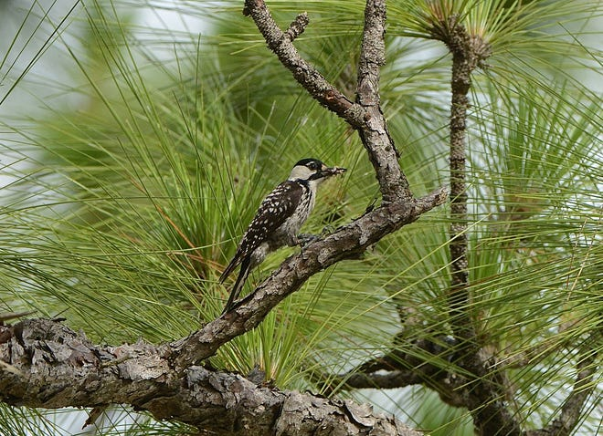 A red-cockaded woodpecker gathers food in a longleaf pine on the Bacbock Ranch in Charlotte County on June 3, 2013.
