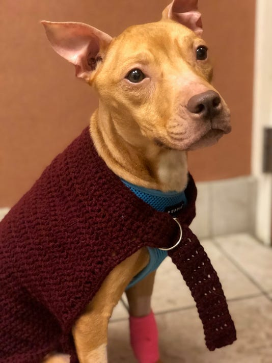 Phoenix the pitbull in a sweater