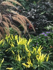 Two cultivars of ornamental chiles beautify this Washington, D.C. flowerbed.