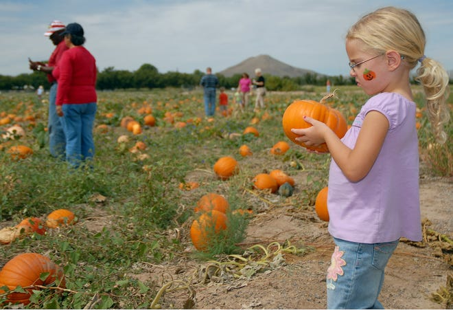Tatum Russell, 4, inspects her pumpkin after taking a hayride to the pumpkin patch during the annual New Mexico Pumpkin Festival held at the Mesilla Valley Maze.