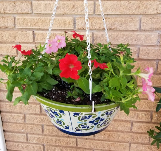 In North Texas, there are several flowering plants that will grow beautifully in our winter climate.  Good choices for hanging baskets are petunias.