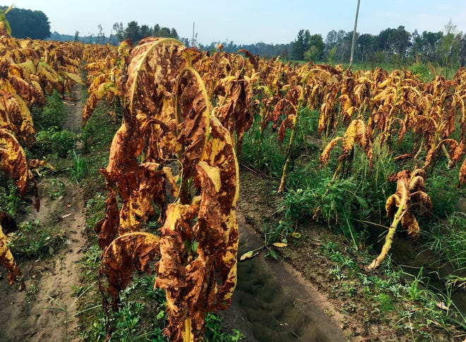 Tobacco plants battered and bruised by Hurricane Florence stand unharvested in fields near Fremont, N.C., on Thursday, Sept. 20, 2018. Farmer Craig West said the leaves are about as appealing and saleable as a bunch of bruised bananas, but they can't be harvested anyway because the fields are too soggy after the storm.
