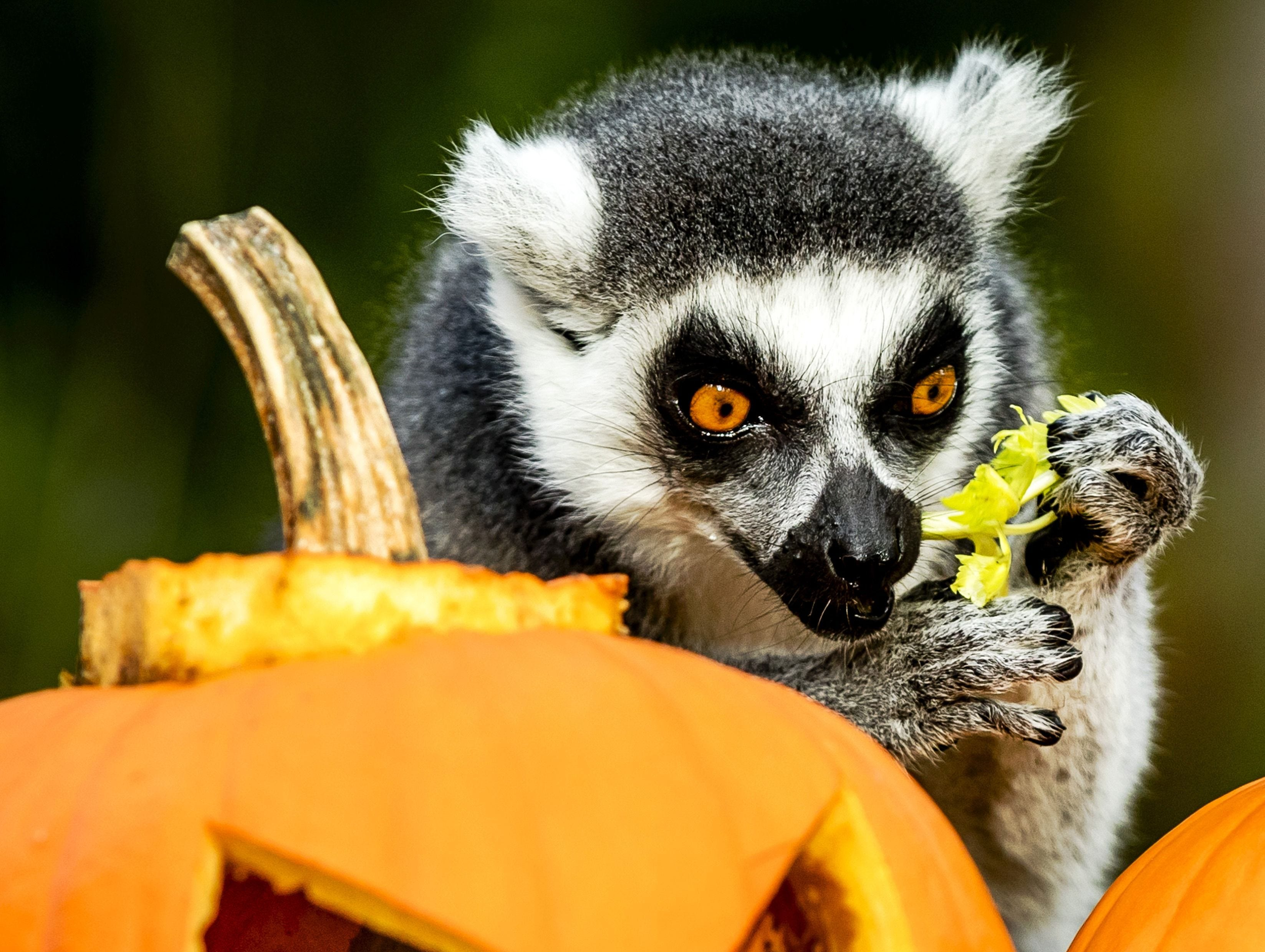 A lemur feeds on vegetables hidden in carved out Halloween pumpkins at the Dierenpark Zoo in Amersfoort, Netherlands, on October 27, 2017.