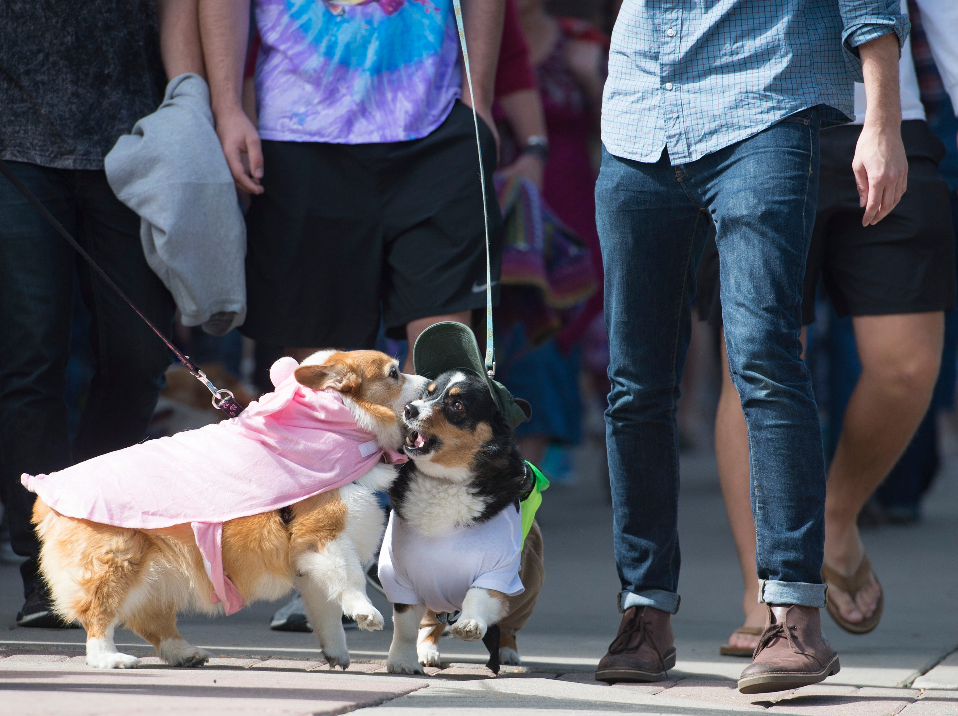 Corgis and their owners parade through downtown during Tour de Corgi in Civic Center Park on Saturday, September 29, 2018. Hundreds of the stubby-legged dogs paraded through Old Town in the fourth year of the event.