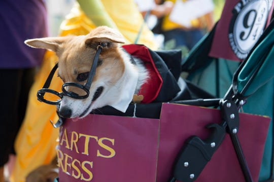A corgi appears in a Harry Potter costume during Tour de Corgi in Civic Center Park on Saturday, September 29, 2018. Hundreds of the stubby-legged dogs paraded through Old Town in the fourth year of the event.