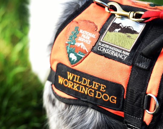 In this Monday, Sept. 17, 2018 photo, Gracie, the 4-year-old service dog who helps keep bighorn sheep and goats a safe distance from visitors to Logan Pass, wears her Wildlife Working Dog vest wears while on duty at Glacier National Park, Mont. Gracie launched her Wildlife Working Dog career at the national park in 2016. Today, the border collie counts about 17,000 followers on Instagram. (Brenda Ahearn/The Daily Inter Lake via AP)