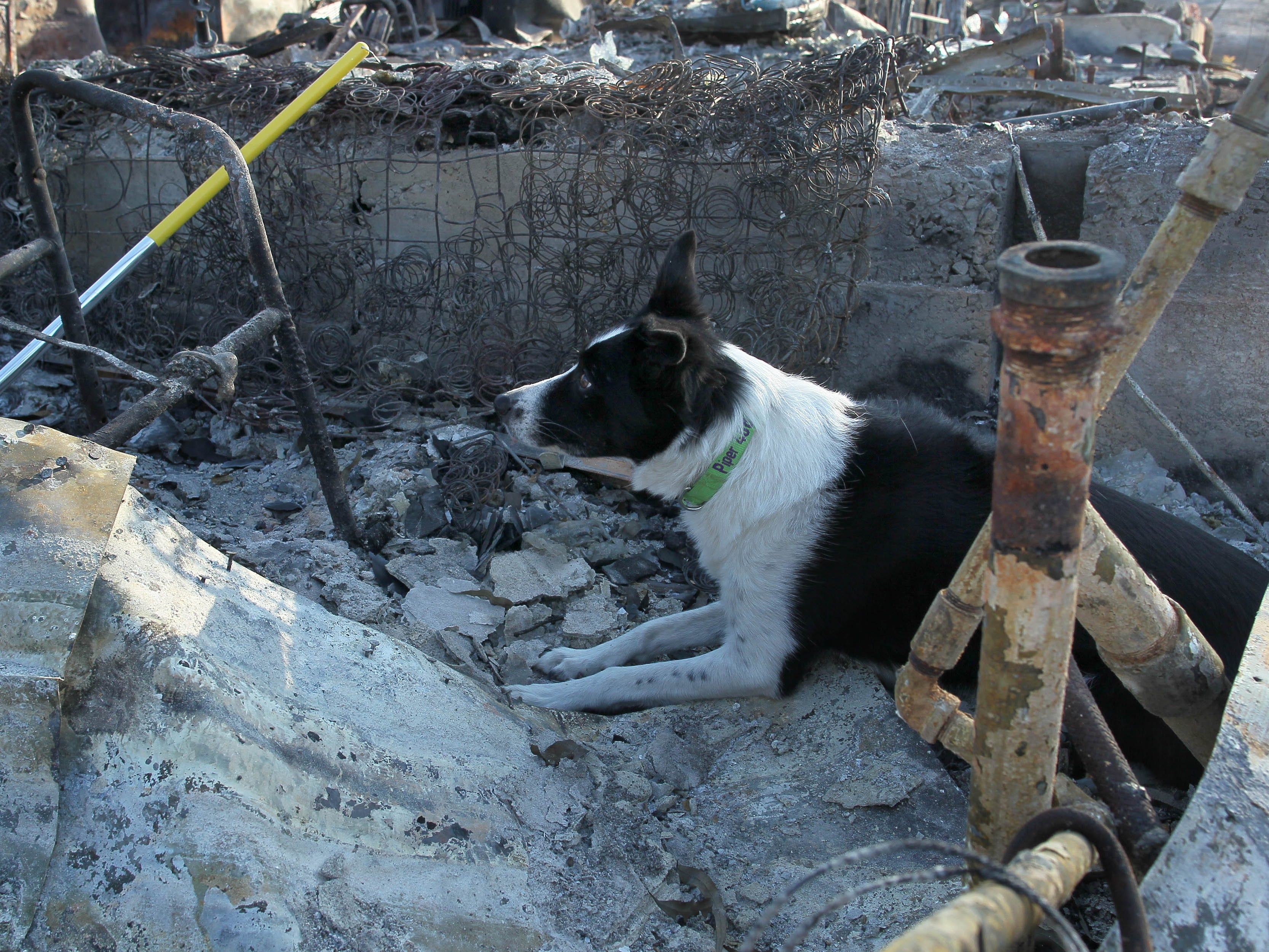 Cremains-sniffing dog Piper sits where cremains were found on the Keswick property of Bonnie Martin on Saturday.