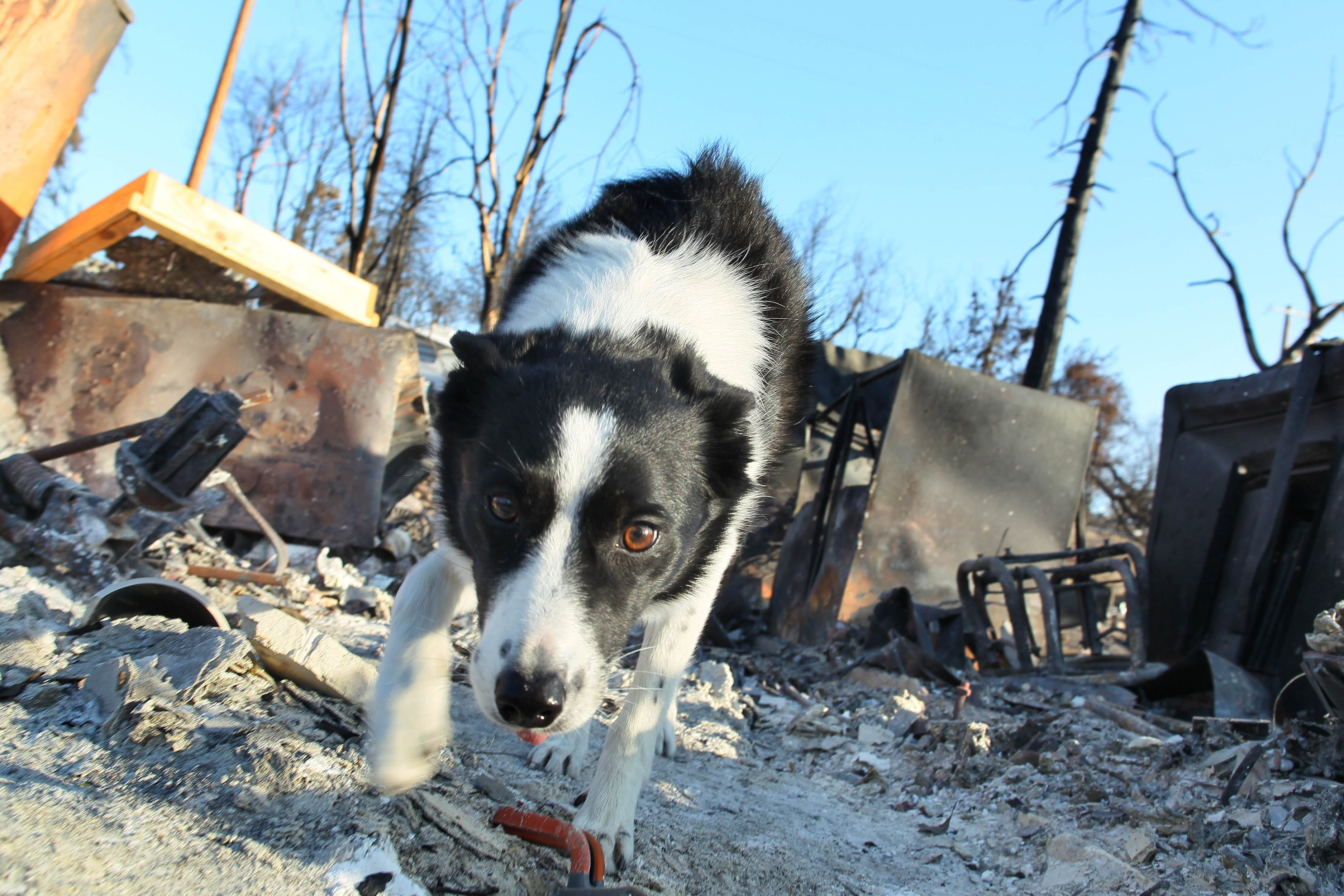 Piper, a cremain-sniffing border collie, walks around Bonnie Martin's property in Keswick on Saturday.