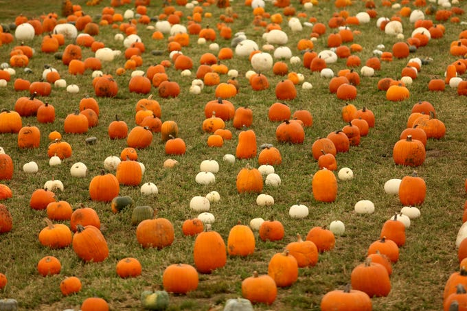 Pumpkins available during the Harvest Festival at E.Z. Orchards in Salem on Saturday, Sept. 29, 2018.