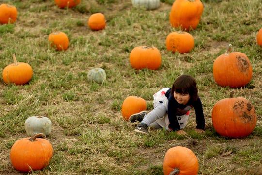 Stella Keen, 2, of Salem, picks a pumpkin during the Harvest Festival at E.Z. Orchards in Salem on Saturday, Sept. 29, 2018.