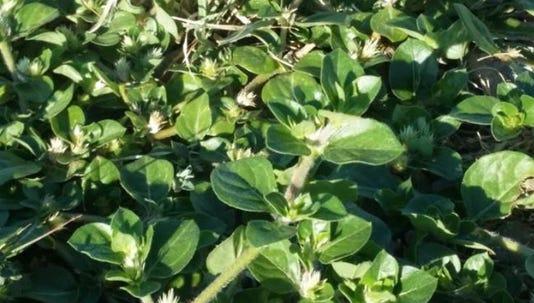 Khaki Weed