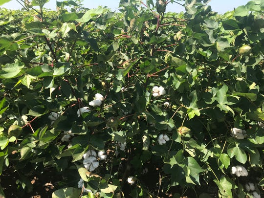 Cotton in the San Angelo area was faring well a couple of months ago, before a rainy October took a heavy toll.