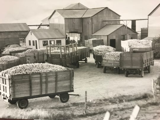 Cotton wagons line the driveway at gin near San Angelo in this Standard-Times file photo. Cotton has always been a staple crop for farmers in West Texas.