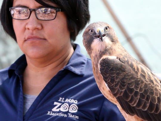 Heather Rivera, a an education specialist with the El Paso Zoo showed a Swainson's Hawk at a desert fiesta in 2018.