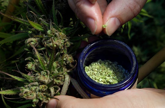 CBD, particularly from cannabis plant hemp, has become a popular ingredient in wellness products. Pictured here: Pollen is removed from a hemp plant at the Unique Botanicals facility in Springfield, Ore.