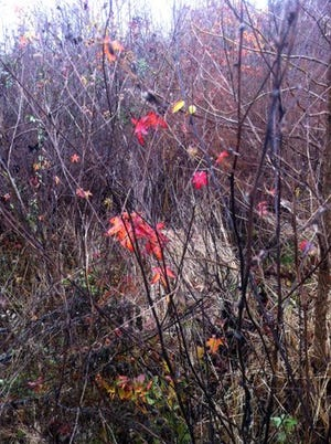 Most local plant life will look like this after a few weeks of autumn.