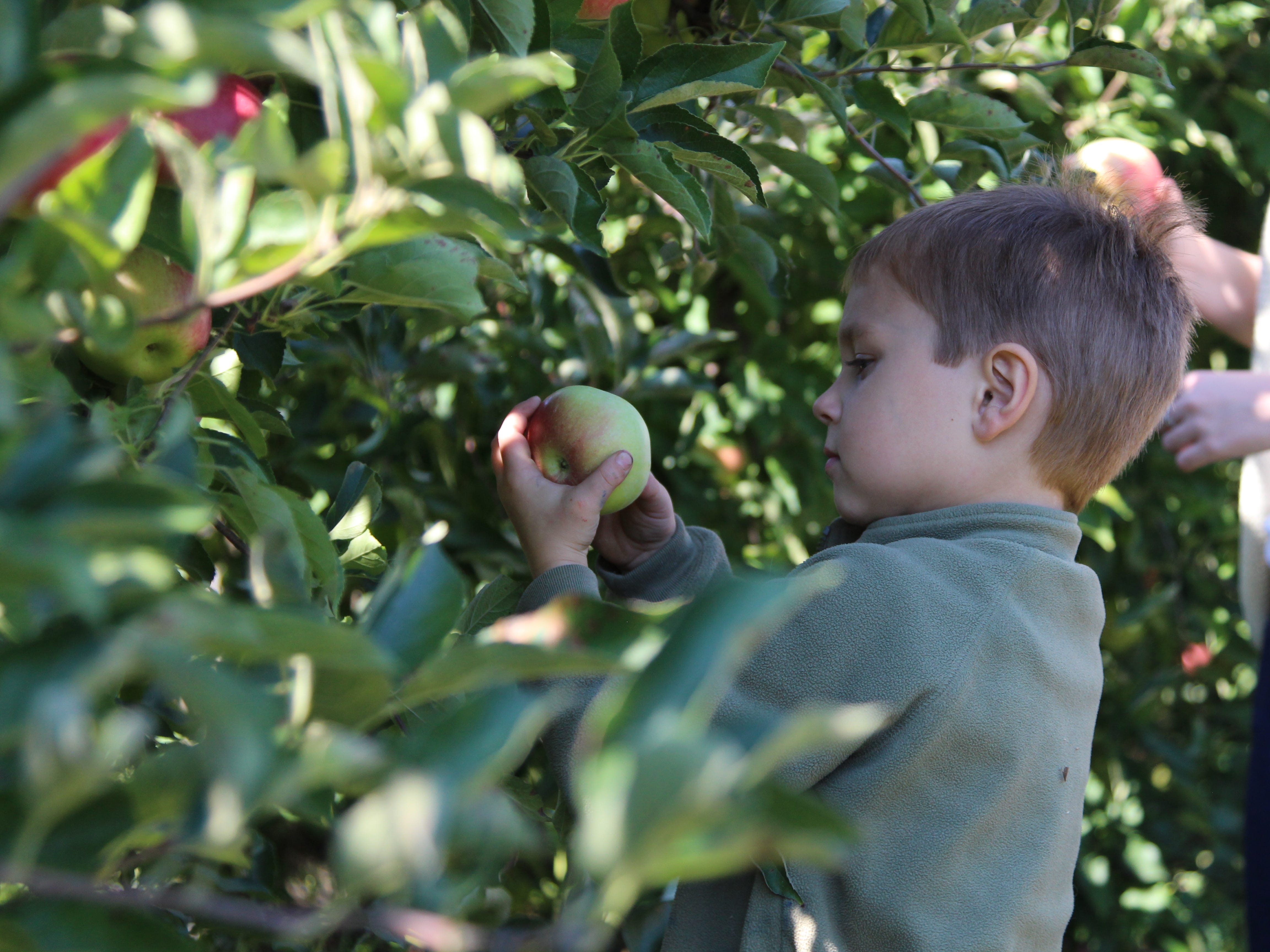 Grahm Hawkins, 5, picks apples Saturday at Applefest at Lawrence Orchards.