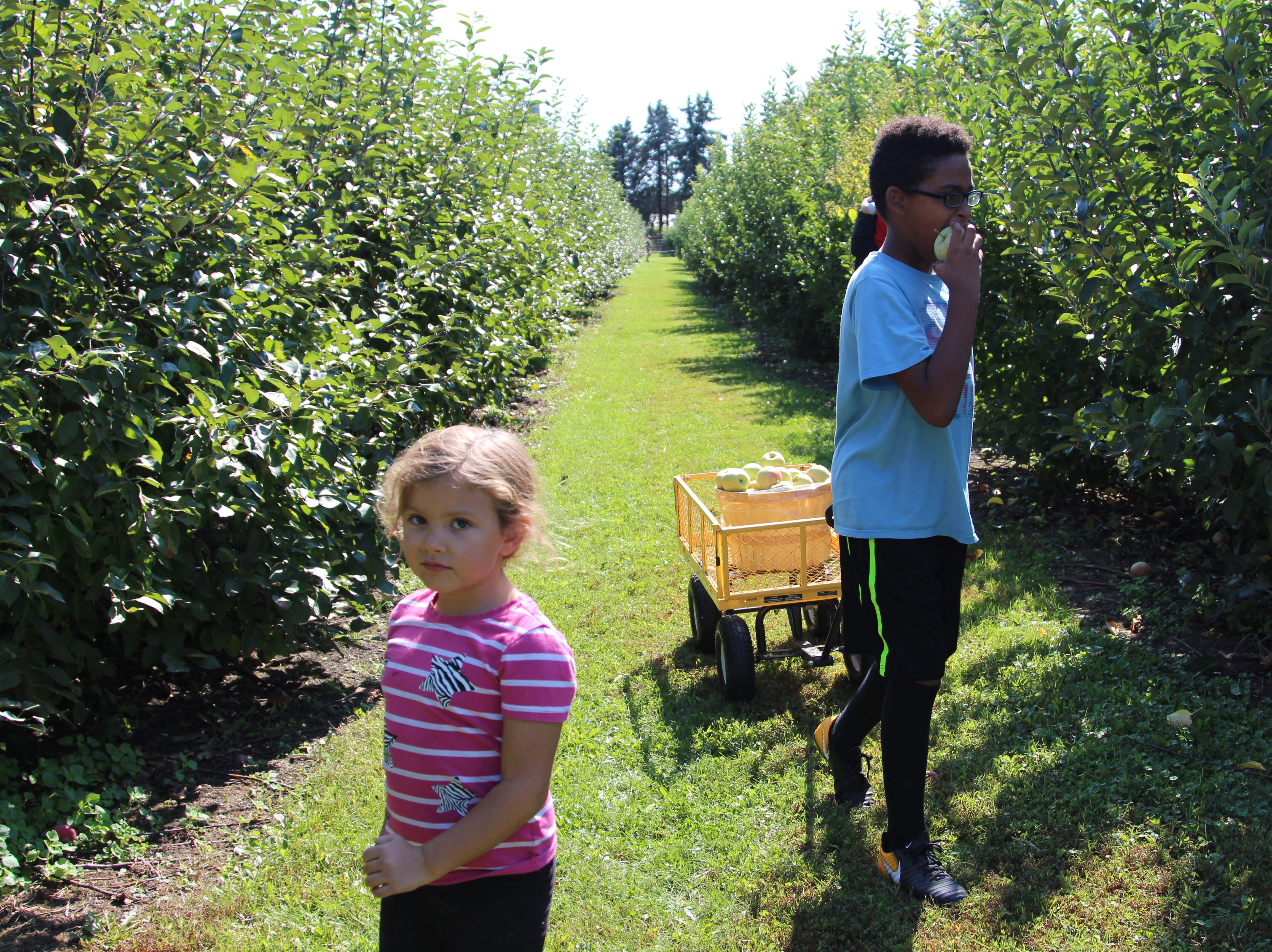 Sydney Strother, 5, picks apples along with Manny Strother, 10, at Applefest. The Strothers go to the festival at Lawrence Orchards every fall, where they pick a barrel of apples to make pies or applesauce or crisps with.