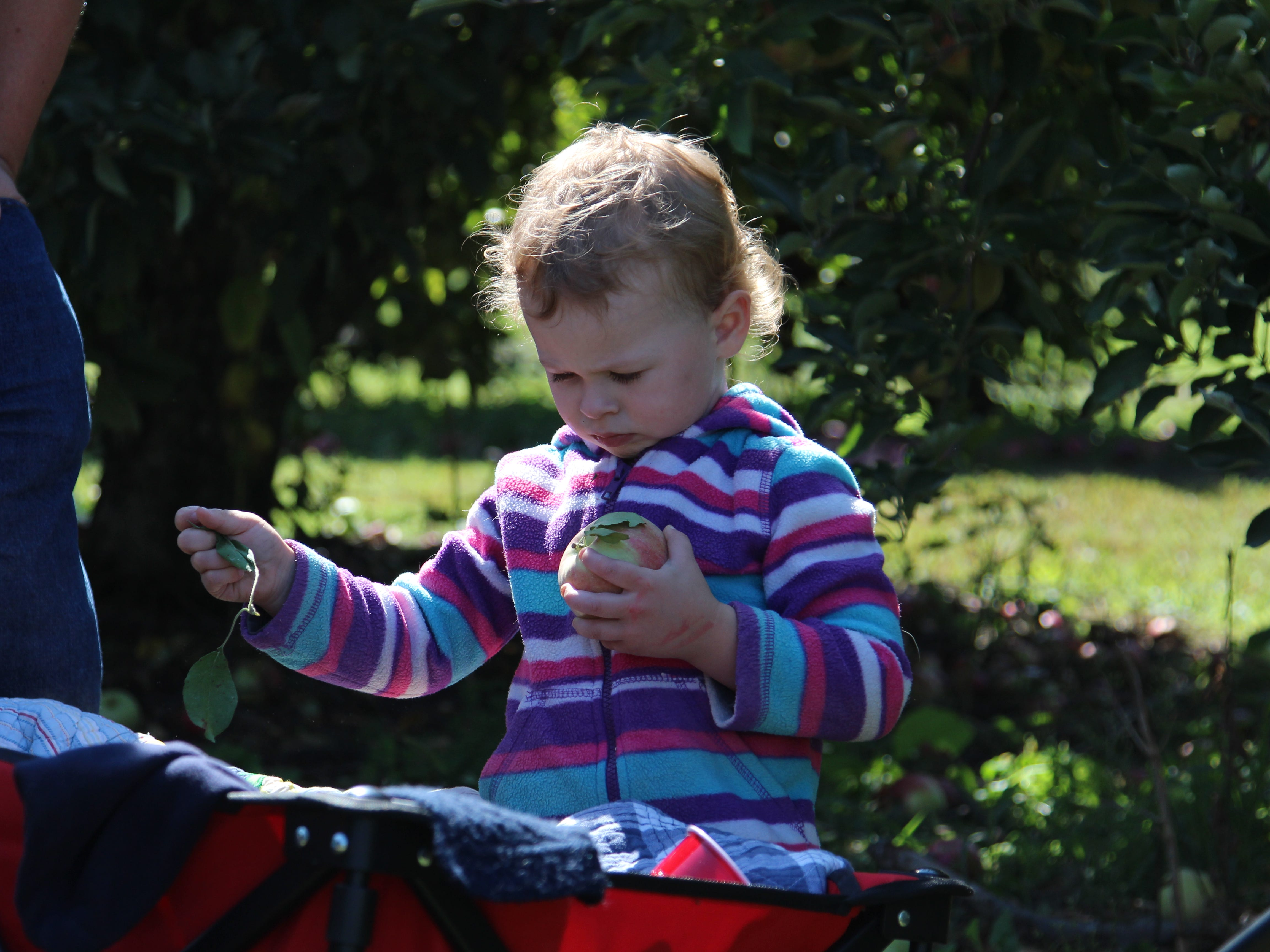 Izabella Shepherd, 2, picks the leaves off a freshly picked apple before depositing it in a barrel. Applefest was Saturday at Lawrence Orchards.