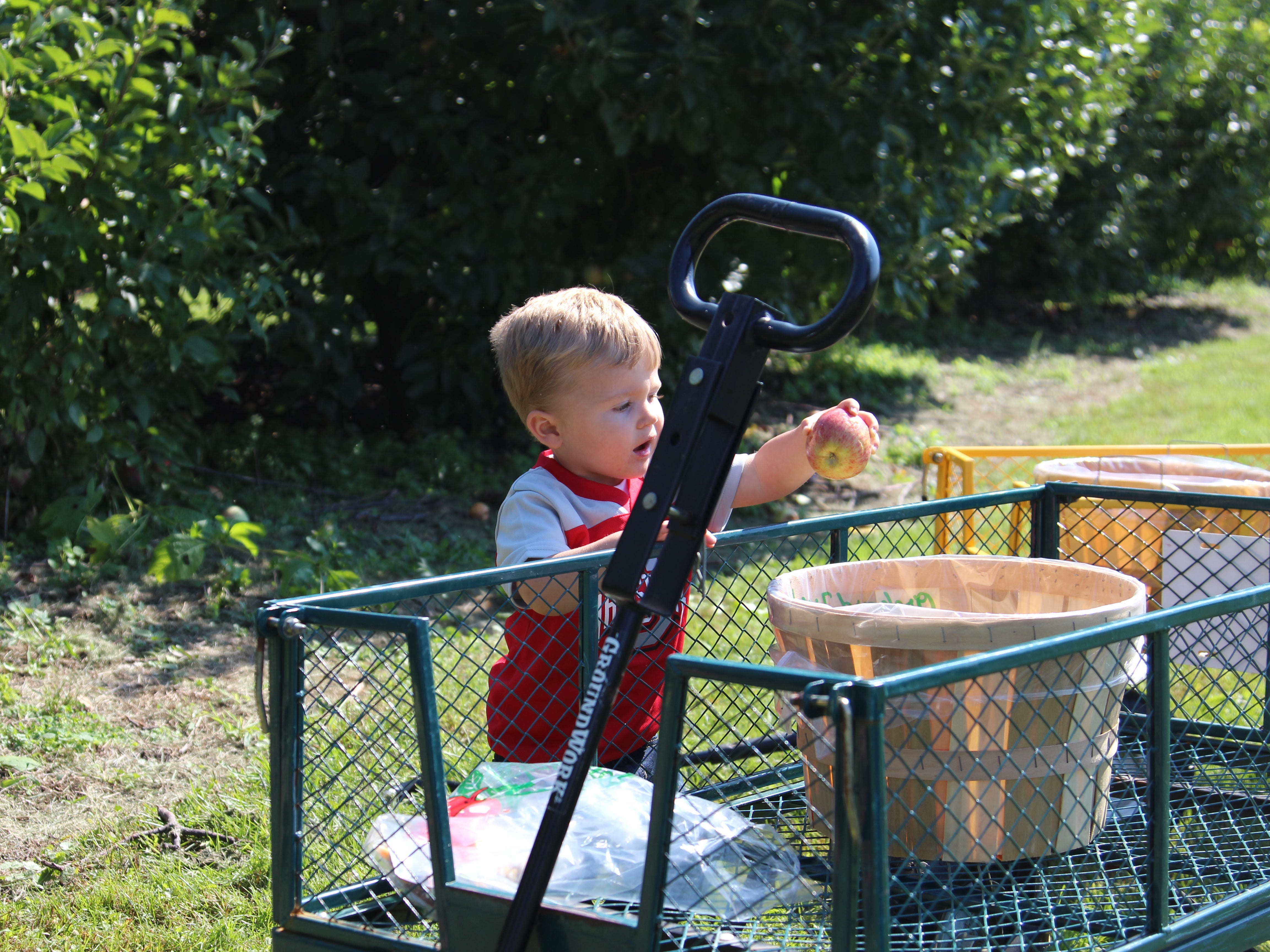 Greyson Snyder, 2, helps put apples picked at Applefest into a barrel. The festival occurred Saturday at Lawrence Orchards.