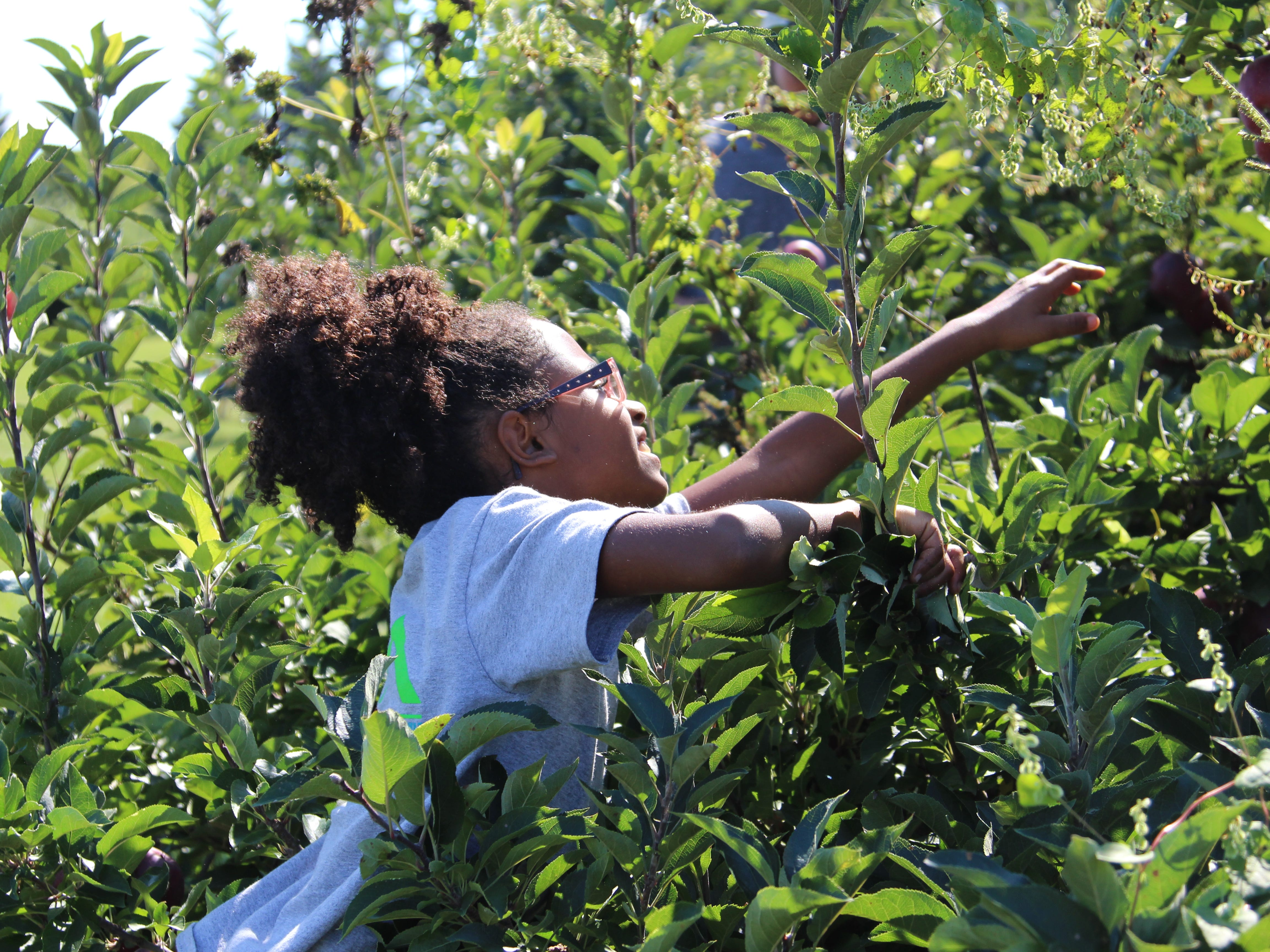 Sarina Strother, 8, reaches for an apple at Applefest, which took place Saturday at Lawrence Orchards.