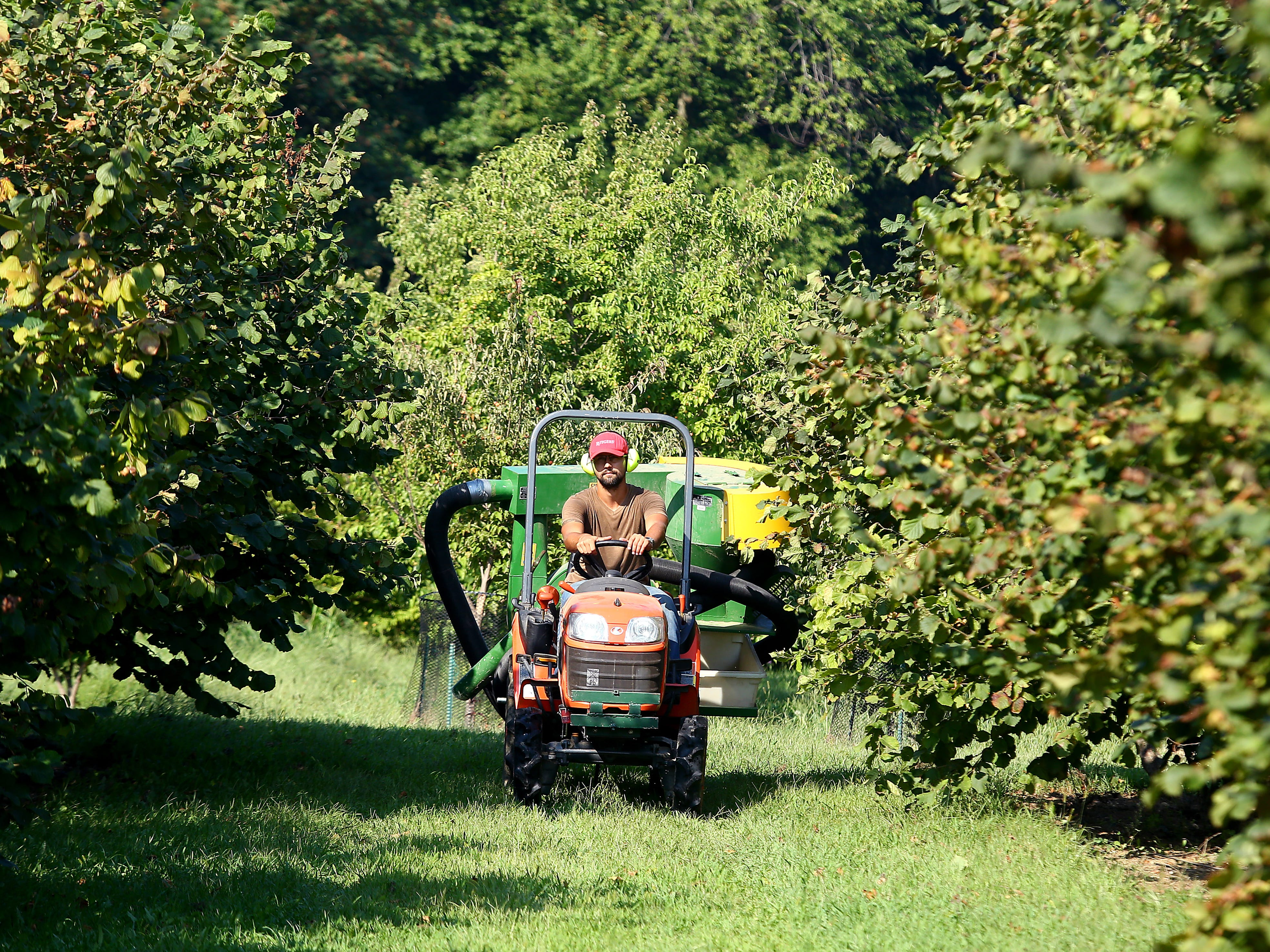 Field Researcher Tech Emil Milan rides a Chianchia hazelnut harvester at Rutgers Hort Farm 3 in East Brunswick. Hazelnuts are currently only produced commercially in the United States in the Willamette Valley of Oregon. However, research and breeding at Rutgers is changing this scenario. September 6, 2018, East Brunswick , NJ