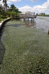 Thick, slimy green algae was seen floating in Hogue Channel in Bonita Springs on Saturday, Sept. 29, 2018. Nearby residents said they had never seen anything like this.