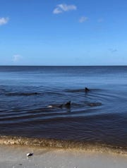 Dolphins swim close to the shoreline along Naples beach on Saturday, Sept. 29, 2018.