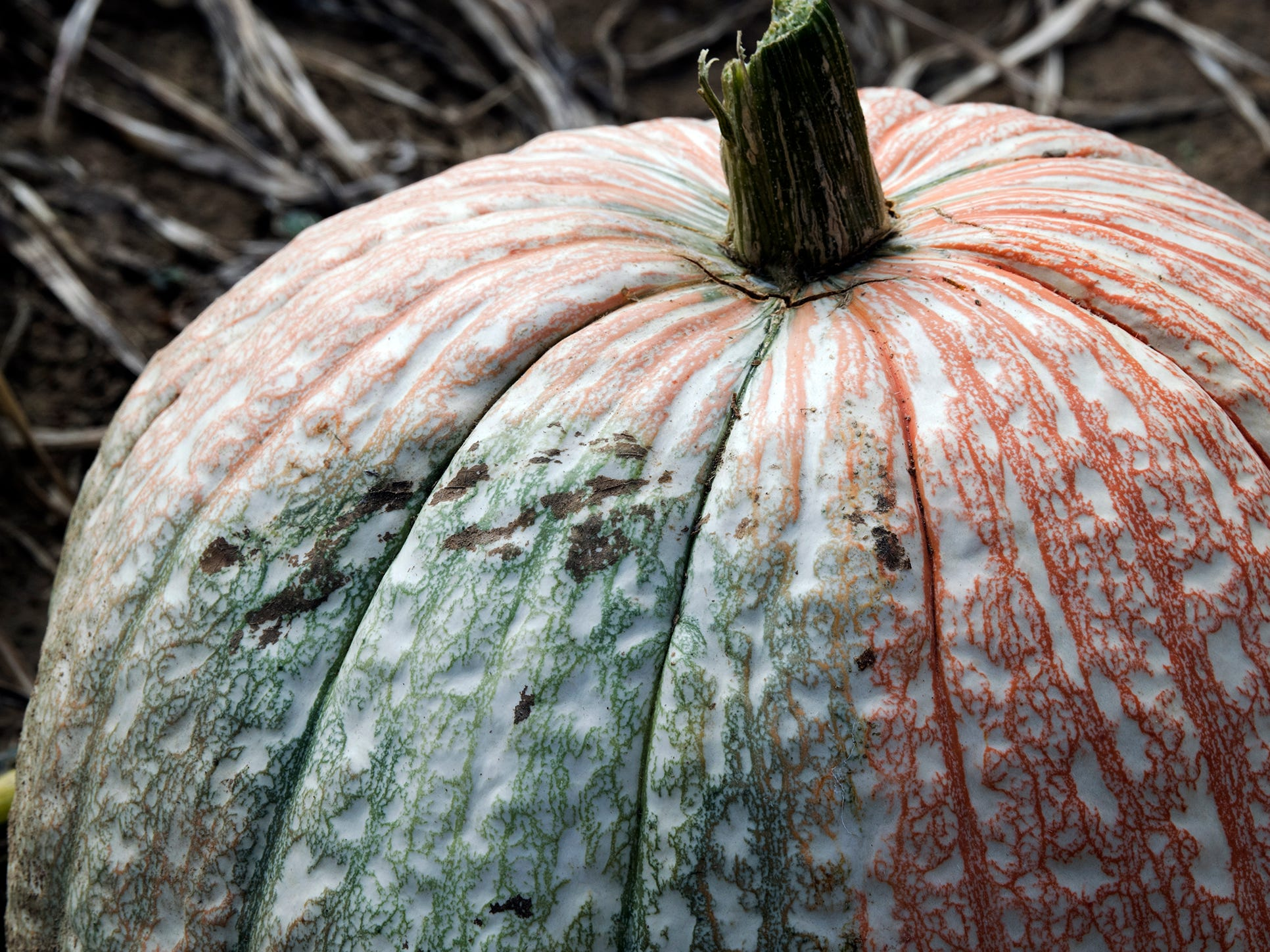 A pumpkin in the U-Pick field at Paulus Orchards in Monaghan Township Sunday September 30, 2018.
