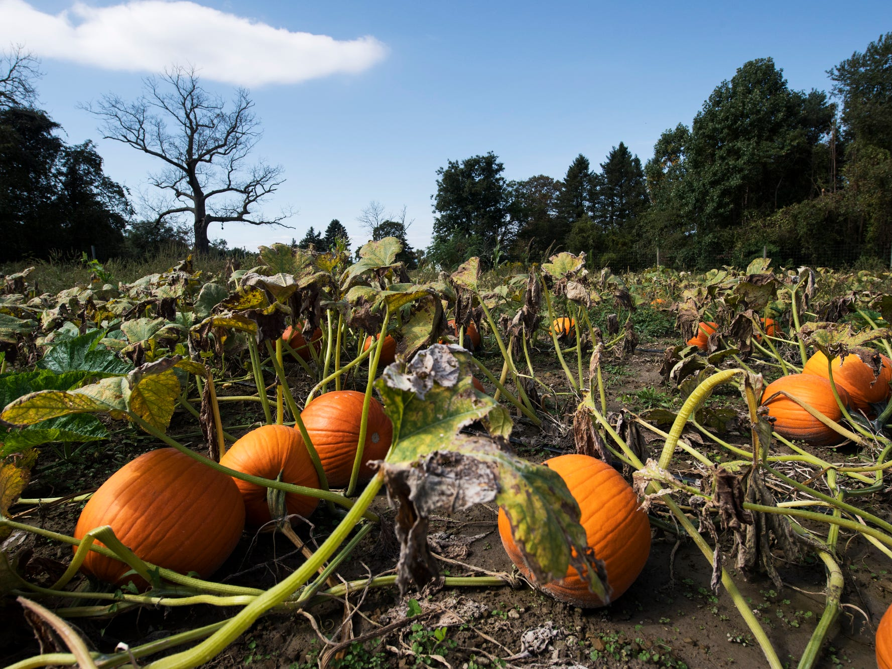 There are plenty of pumpkins in the u-pick field at Paulus Orchards in northern York County.