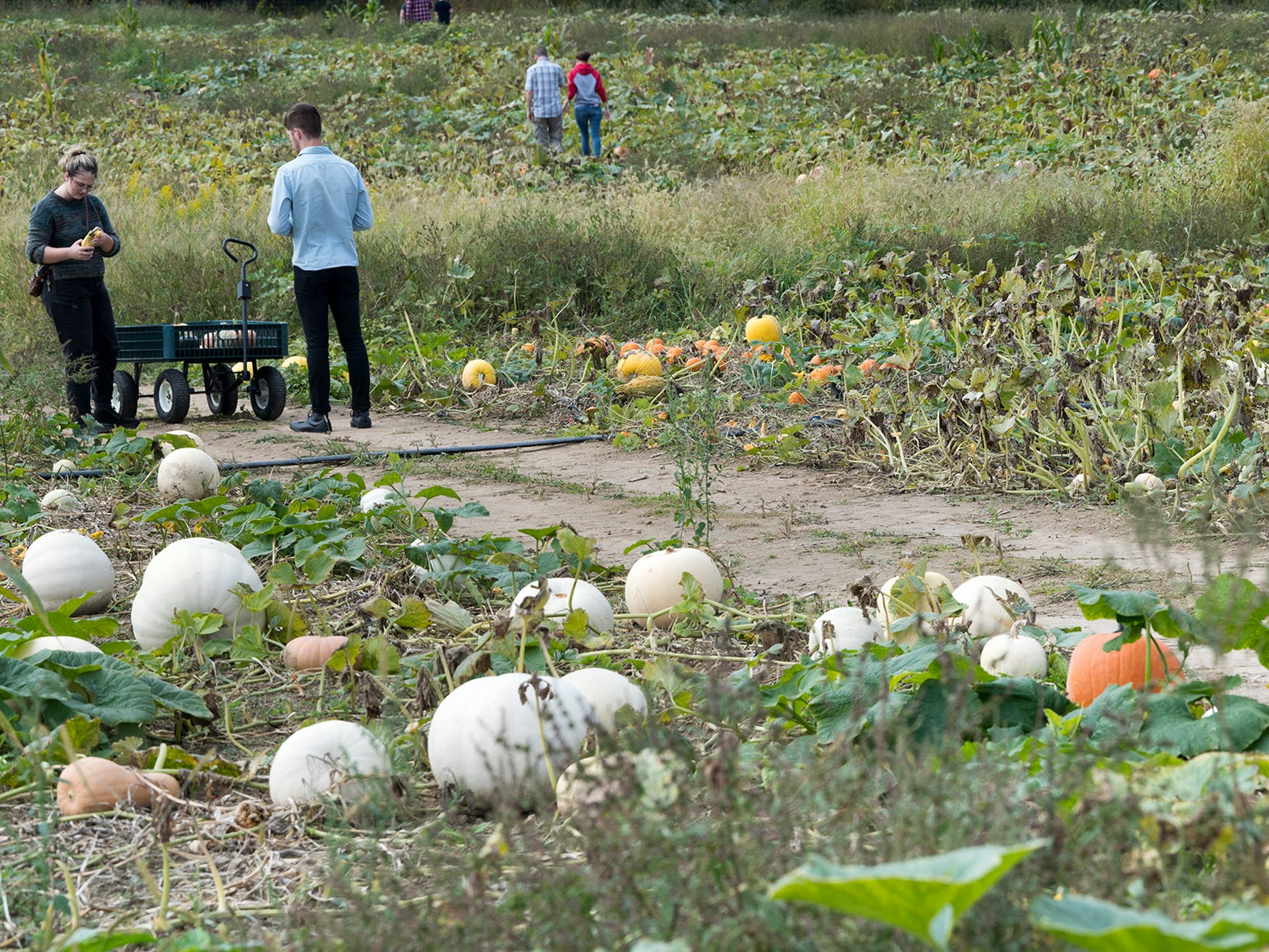 People search for pumpkins at Paulus Orchards in Monaghan Township Sunday September 30, 2018.