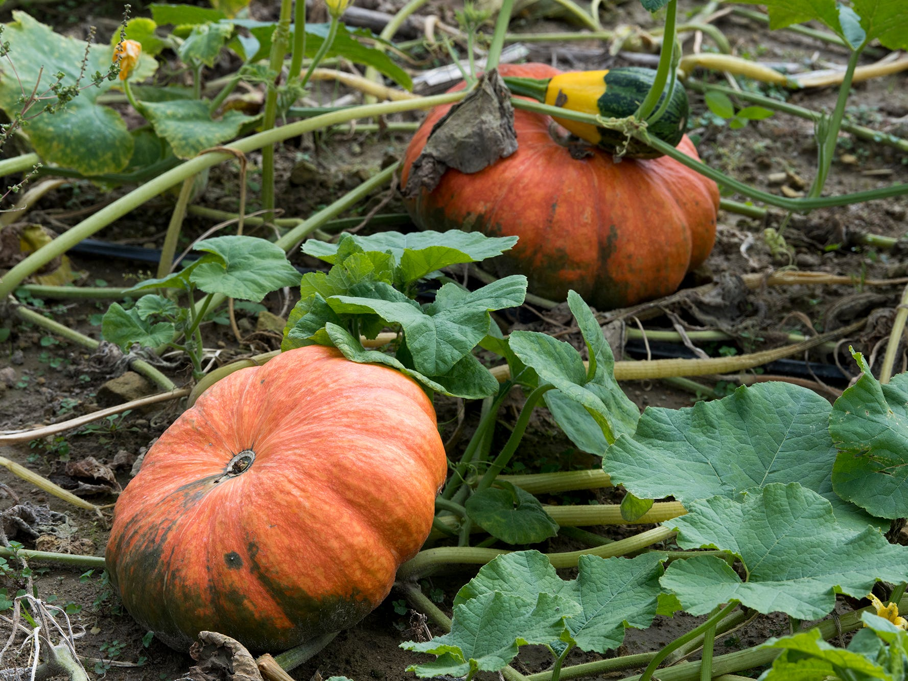 Pumpkins in the U-Pick field at Paulus Orchards in Monaghan Township Sunday September 30, 2018.