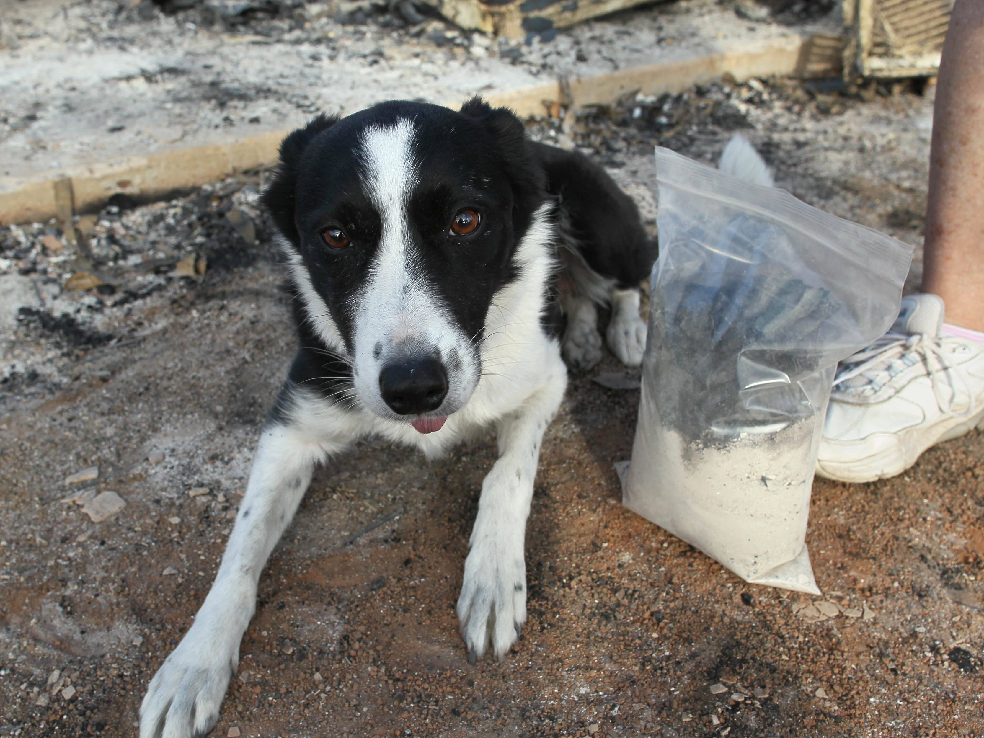 Piper, the cremain-sniffing border collie, liess next to the cremains recovered on Saturday, Sept. 29, 2018. (Hung T. Vu/Special to the Record Searchlight)