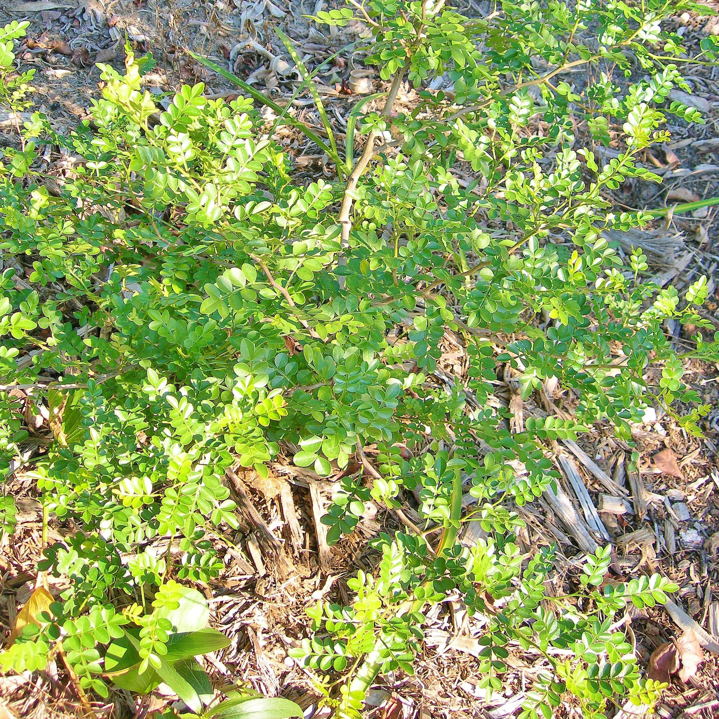 Native Wild lime good choice for Treasure Coast landscapes