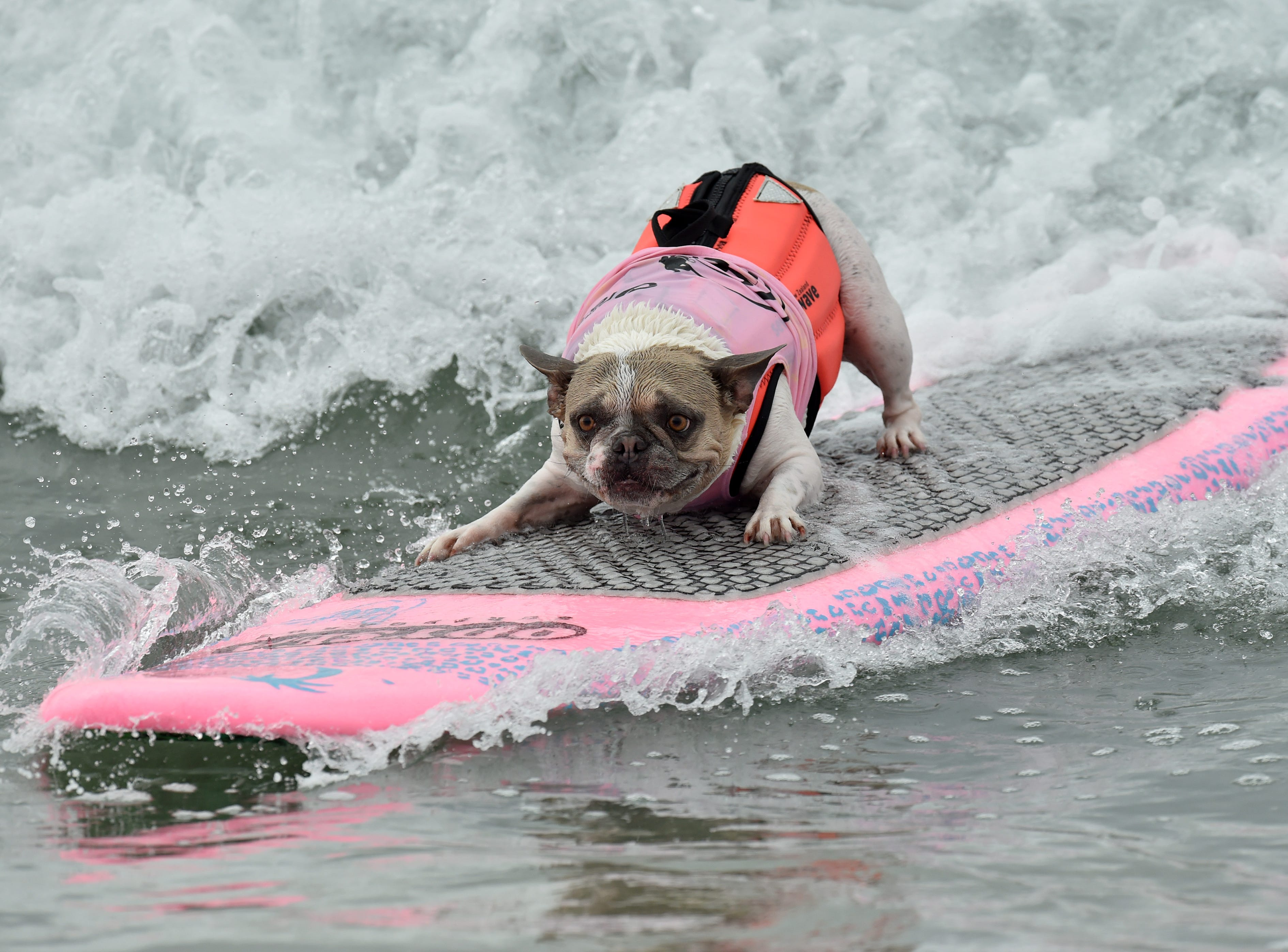 A dog hangs on as they competes in the Surf Dog competition.