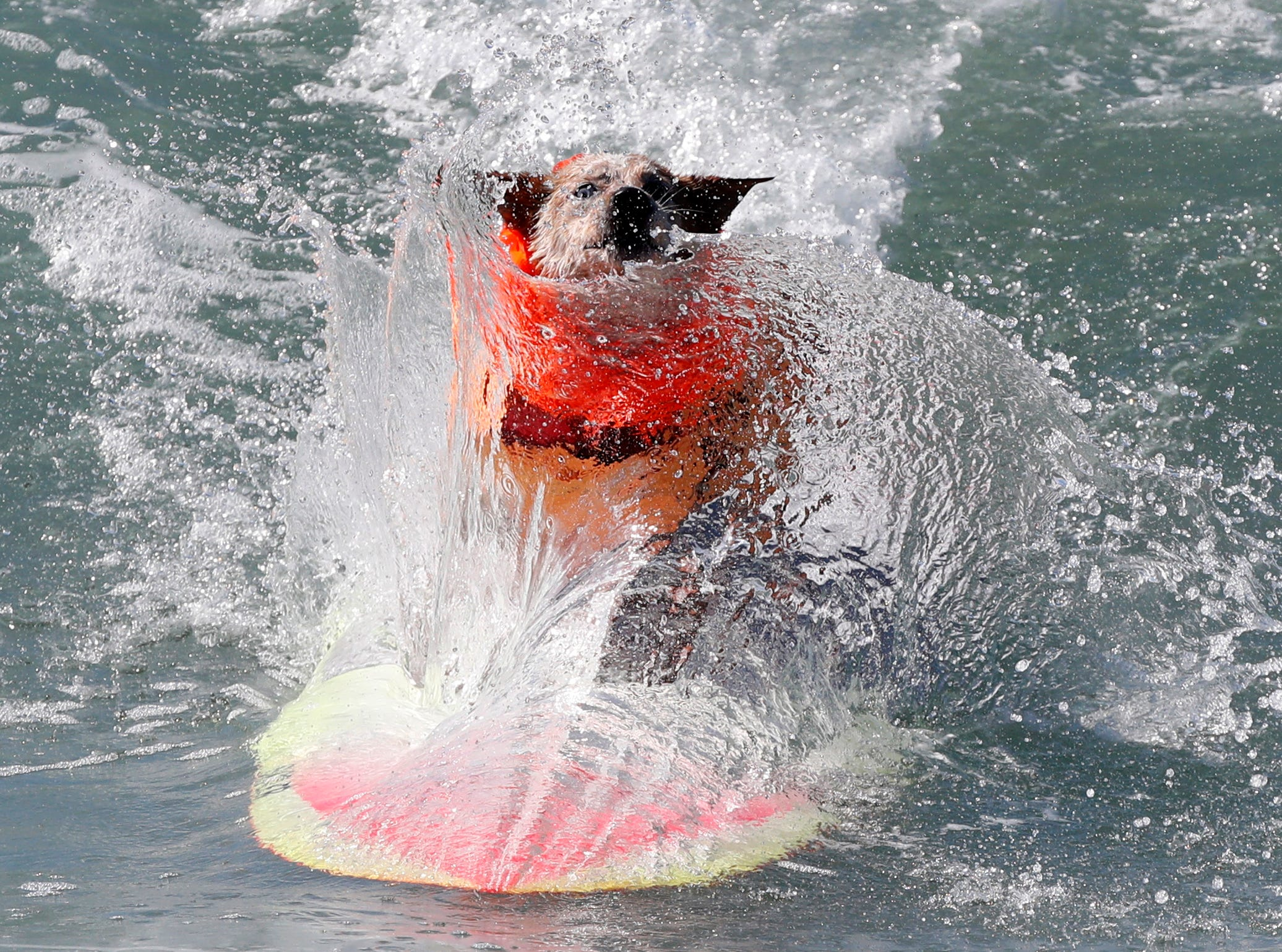 Skyler is splashed as he competes in the medium dog category.