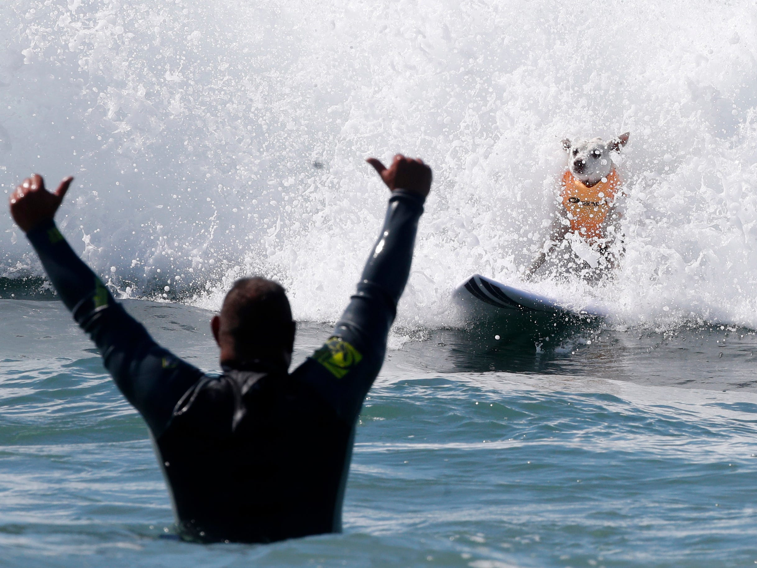 A person celebrates as a surf dog successfully rides a wave.